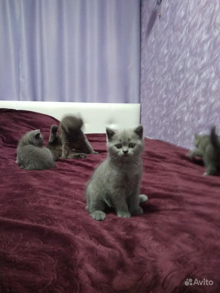 Шотландские котята в Горшечном - фотография № 2