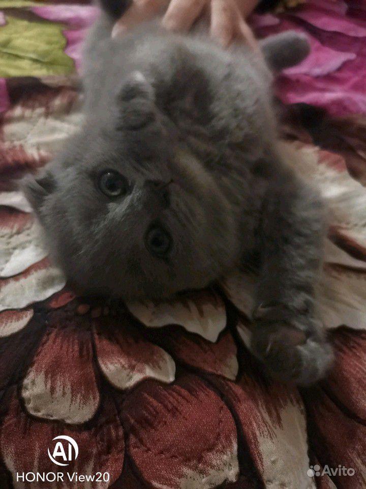Британские котята в Краснодаре - фотография № 1