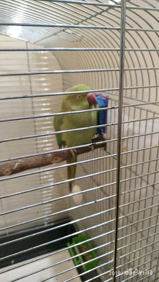 Попугай ожереловый Рита с клеткой