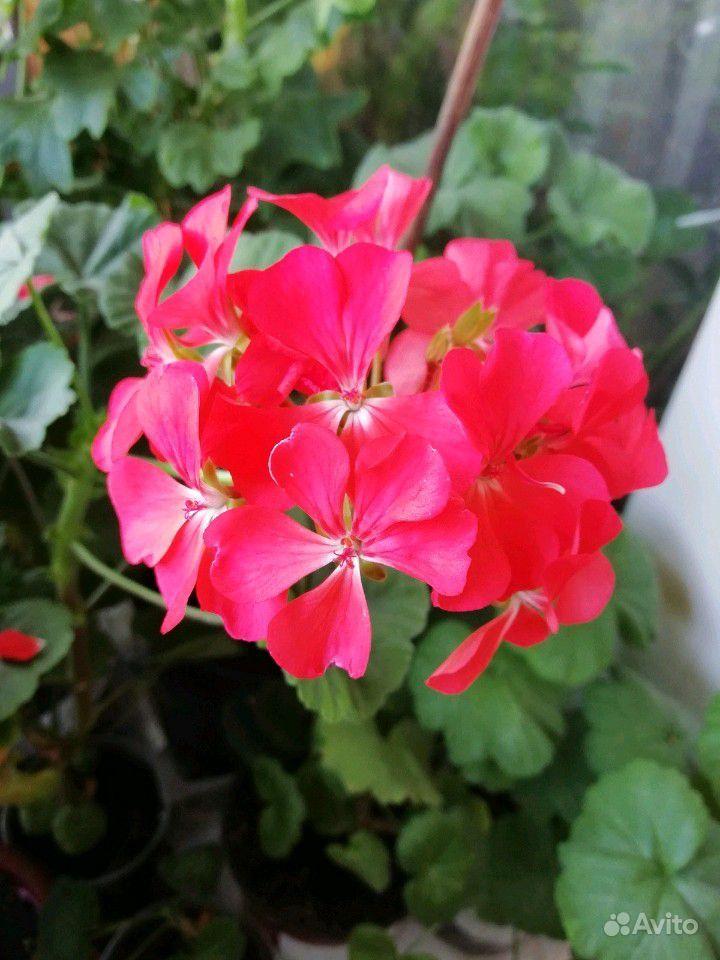 Герань белая, розовая, красная, малиновая купить на Зозу.ру - фотография № 7