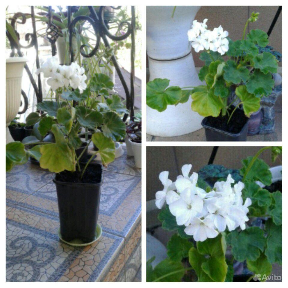 Комнатные цветы купить на Зозу.ру - фотография № 1
