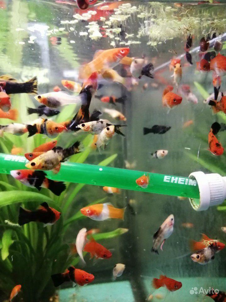 Меченосцы и молинезии аквариумные рыбки купить на Зозу.ру - фотография № 10