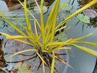 Растения для пруда. Кувшинки