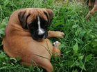 Немецкий боксер, щенок