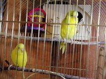 Волнистые попугайчики купить в Иркутской области | Животные и зоотовары | Авито