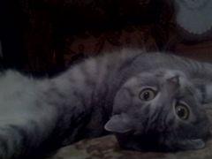 Британский котик ждёт дам