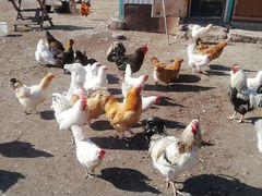 Инкубационное яйцо мясояичных кур