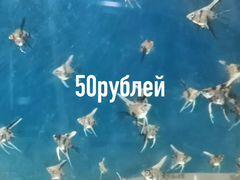 Продам рыбок скалярии