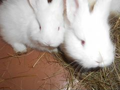 Крольчата новозеландскои белои