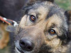 Статный красавчик Грей Собака в добрые руки
