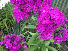 Флоксы цветы растения для сада