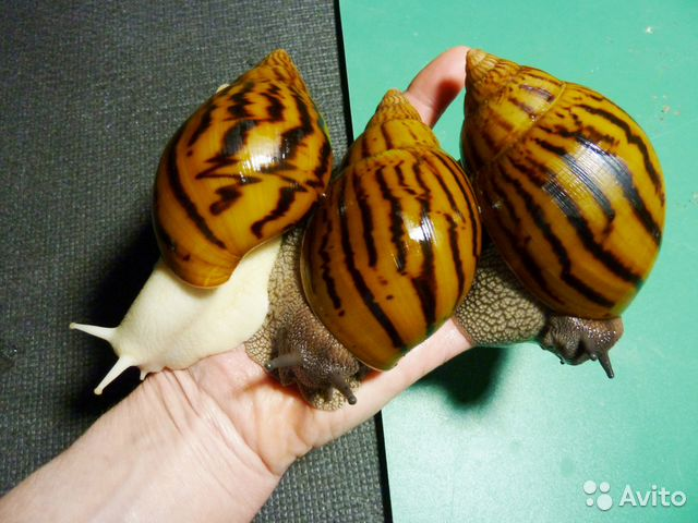 Ахатина тигр фото