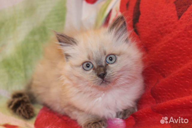 Невская Маскарадная котята 89539652314 купить 1