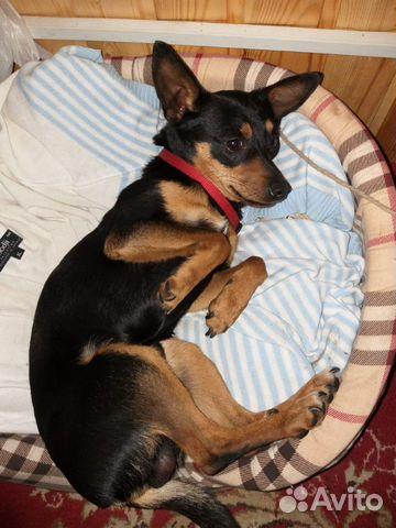 Пропала собака купить на Зозу.ру - фотография № 4