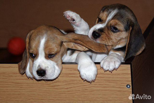 Шикарные щенята Бигля купить на Зозу.ру - фотография № 2