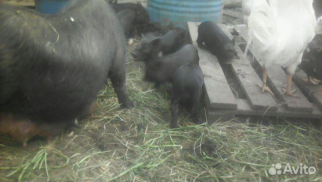 Вьетнамские поросята,огулянные свиноматки
