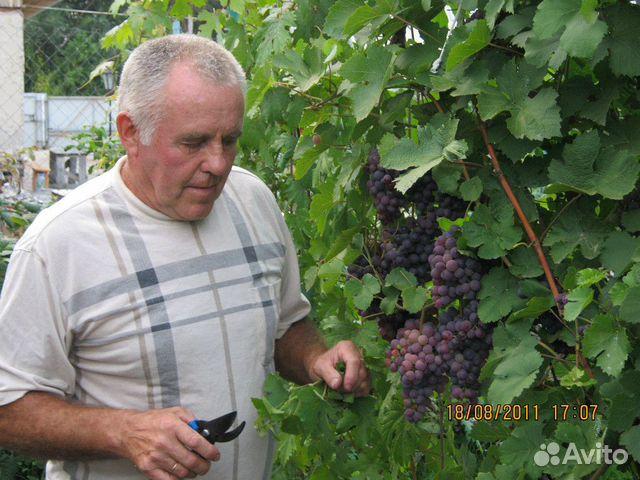 Саженцы винограда 89525987112 купить 1