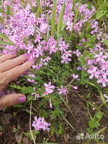 Многолетние цветы примула, почвопокровные, для гор  купить 6