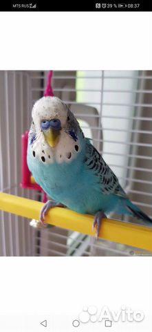Wavy parrot  buy 1