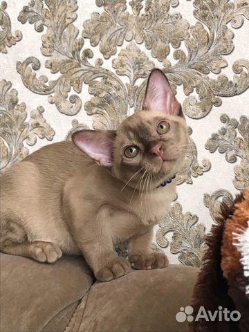 Бурманские котята, Омск