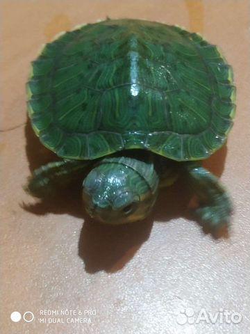 Красноухая черепаха  89898743974 купить 4