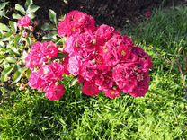 Черенки роз