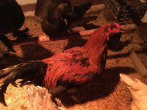 Яйцо Гилянская порода кур