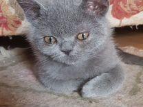Котенок Шерри мальчик 3мес