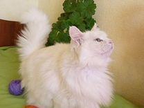 Муся. Стерилизованна — Кошки в Геленджике
