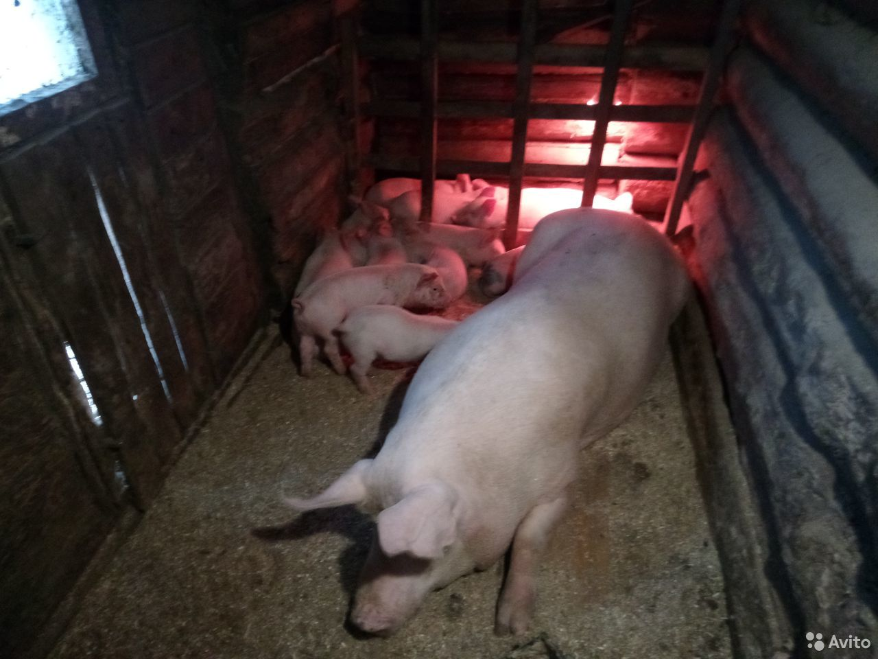 Поросята. Осталось 2 свинки и 3 хрячка. 12-15 кг  89005575791 купить 3