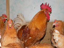 Инкубационное яичко и породистые цыплятки