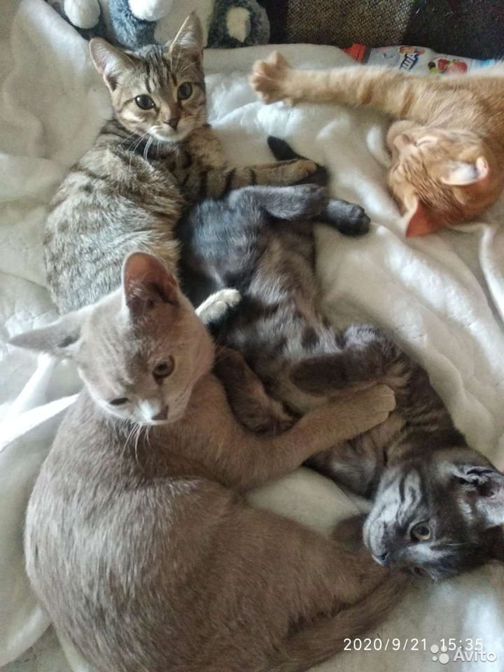 Кошки  89124533269 купить 1