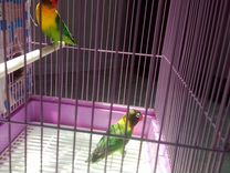 2 попугая неразлучника плюс 2 клетки