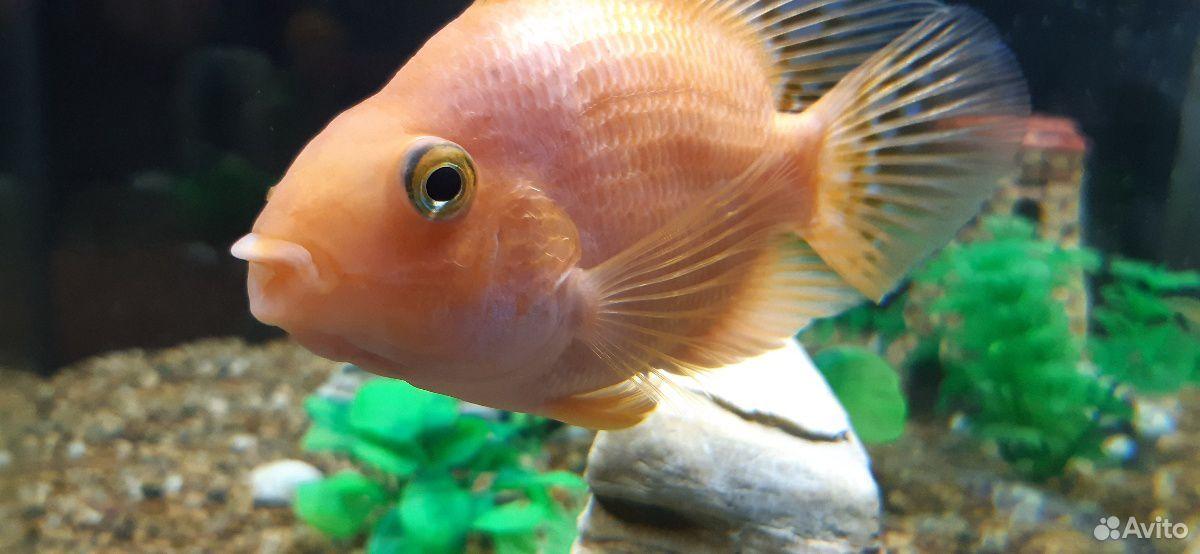 Рыба попугай  89241065400 купить 4