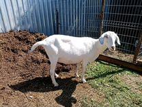 Коза нубийская