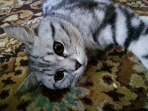 Британский кот, окрас вискас