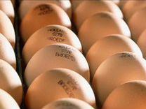 Яйцо бройлера в наличии