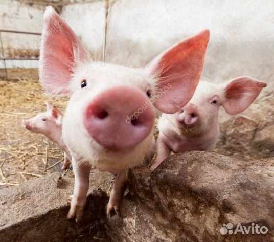 Покупка и продажа Свиней и Свиной продукции