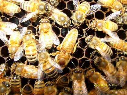 Пчелоотводки, отводки