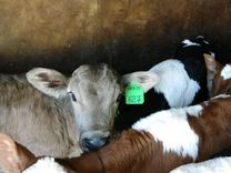 Телята бычки мясный пород от одной недели