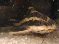 Сомики вместе с аквариумом