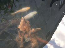 Прудовые рыбы. Кои, комета