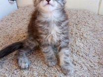 Серебристые котята мейн-кун