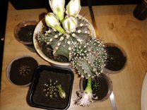 Комнатные цветы. Кактусы.фикусы